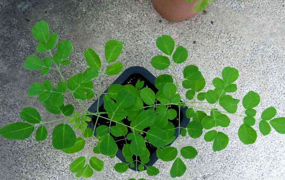 8 Must Know Benefits of Moringa Tree - Good Health Planning